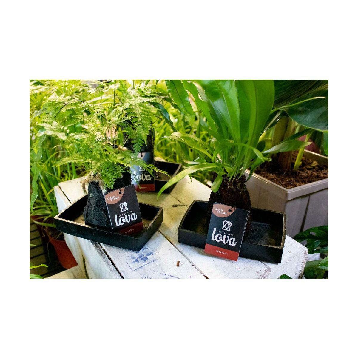 Kompozycja Lova Na Skale Wulkanicznej Mix 30 Cm Rosliny Zielone W Atrakcyjnej Cenie W Sklepach Leroy Merlin