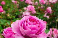 Róże – poznaj najpopularniejsze gatunki róż