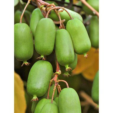 https://static02.leroymerlin.pl/files/media/image/815/2301815/product/plantacja-mini-kiwi-zestaw-10-roslin-clematis,large.jpg