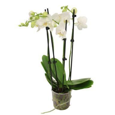Storczyk Falenopsis 4 pędy MIX 70 cm