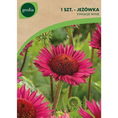 Cebulki kwiatów VINTAGE WINE Jeżówka 1szt. GEOLIA