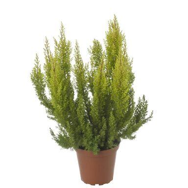 Wrzosiec drzewiasty 'Estrella' 20 - 30 cm