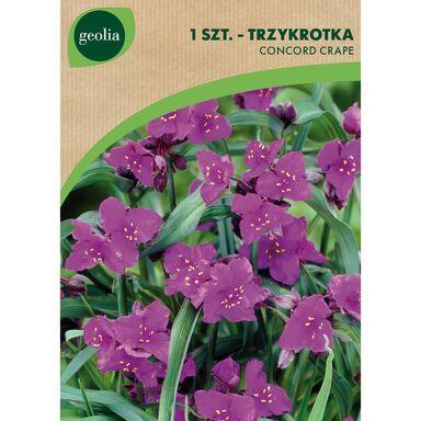 Cebulki kwiatów CONCORD CRAPE Trzykrotka 1szt. GEOLIA