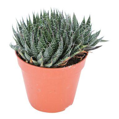 Aloes Aristata 15 cm