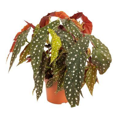 Begonia Plamiasta 45 cm