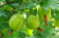 Krzewy owocowe z gołym korzeniem