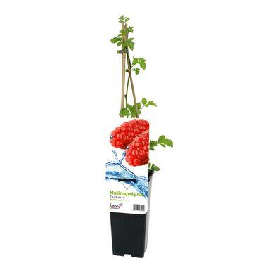 Malinojeżyna 'Tayberry' 60 cm