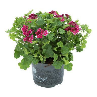 Pelargonia pachnąca MIX 25 - 30 cm