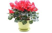 Rośliny domowe kwitnące zimą