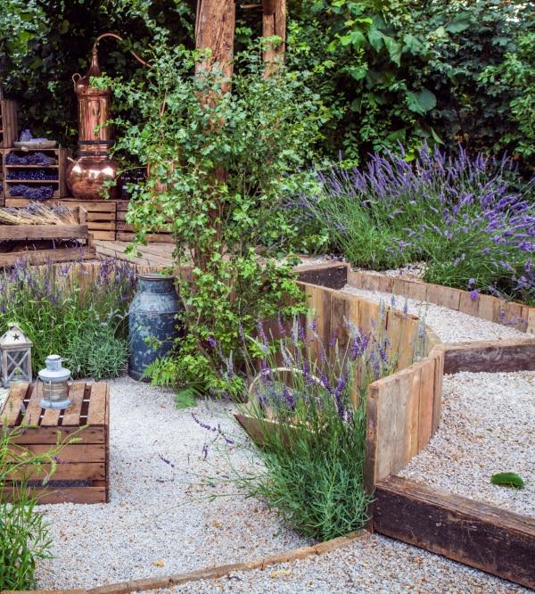 Lawenda w ogrodzie