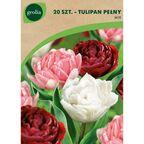 Tulipan pełny MIX 20 szt. cebulki kwiatów GEOLIA