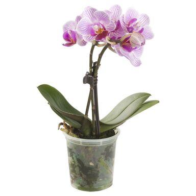 Storczyk Falenopsis miniaturowy Little Lady MIX 20 cm