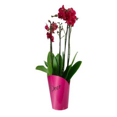 Storczyk Falenopsis 4 pędy MIX 80 cm