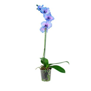 Storczyk Falenopsis niebieski 1 pęd 50 - 70 cm