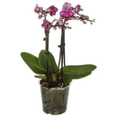 Storczyk Falenopsis Multiflora 4 pędy MIX 40 - 50 cm