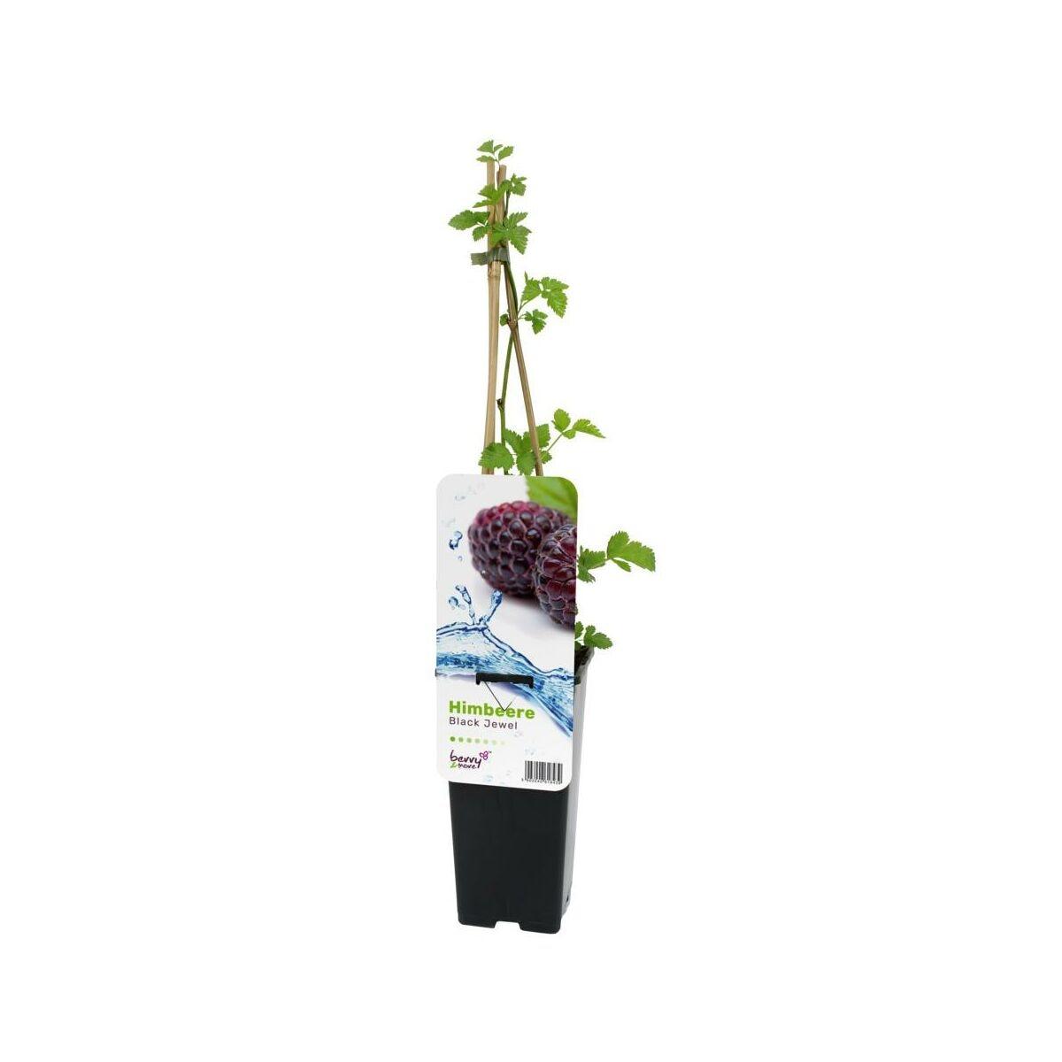 Malina 45 Cm Berry More Krzewy I Drzewka Owocowe W Atrakcyjnej Cenie W Sklepach Leroy Merlin