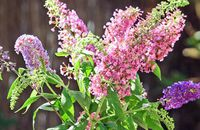 Motyli kwiat czyli budleja