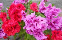 Pelargonie – kwiaty idealne na balkon
