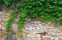 Pnącza a ściany budynków