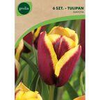 Tulipan Triumph GAVOTA 6 szt. cebulki kwiatów GEOLIA