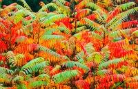 Sumak octowiec najpiękniejszy jesienią